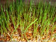 Germinated wheat