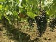 Minis Vineyard - Adronic Wine Cellar
