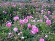 Field of roses of Damask