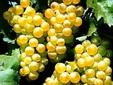 Tămâioasă Românească wine - The Budureasca vineyards, Dealu Mare