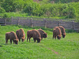 The Bison Reserve in Hateg